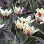 'China Lady' is an upright, bulbous perennial with broad, lance-shaped, maroon-mottled, grey-green leaves and in mid-late spring, single, bowl-shaped, rose pink flowers with white edging, and ivory white interior and a green-bronze base with red blotching. 