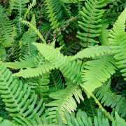 Blechnum spicant (Hard fern) (18/08/2017) Blechnum spicant added by Shoot)