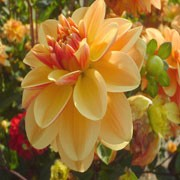 'Peach Brandy' is a decorative flowered dahlia with an erect habit. It has ovate, mid-dark green foliage, and in summer and autumn bears fully-double, peach and soft yellow flowers. Dahlia 'Peach Brandy' added by Shoot)