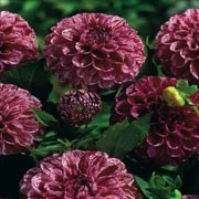 'Marble Ball' is a ball flowered dahlia with an erect habit. Its divided foliage is dark-green. In summer and autumn it bears purple flowers with plum and white flecks. Dahlia 'Marble Ball' added by Shoot)