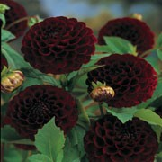 'Tam Tam' is a pompom-flowered dahlia with an erect habit. Its divided foliage is dark-green. In summer and autumn it blooms profusely, bearing small magenta ball shaped flowers. Dahlia 'Tam Tam' added by Shoot)