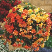 F1 'Illumination Apricot' is a half-hardy, trailing annual with double flowers in a mix of fiery orange to bright yellow colours in summer-early autumn. Begonia tuberhybrida F1 'Illumination Apricot' added by Shoot)
