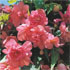 Begonia 'Illumination Salmon Pink' (Illumination Series)