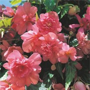 F1 'Illumination Salmon Pink' is a half-hardy, trailing annual with large, double pink flowers in summer-early autumn, and heart shaped green foliage. Begonia tuberhybrida F1 'Illumination Salmon Pink' added by Shoot)