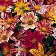 'Fireworks' is a single flowered dwarf dahlia with an erect habit. It has dark green foliage, and in summer and autumn bears striped flowers of yellow, orange, red, white and maroon. 