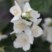 Philadelphus coronarius (17/01/2020) Philadelphus coronarius added by Shoot)