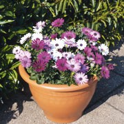 F1 'Asti Mix' is a bushy, compact, drought tolerant, half-hardy annual producing purple and white daisy-like flowers throughout summer and into early autumn.