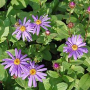 'Jungfrau' is a clump-forming herbaceous perennial with rough, dark foliage and yellow-centred, lavender-blue daisies that flower continuously from late summer to early autumn. More compact and floriferous than other varities. Aster x frikartii 'Jungfrau' added by Shoot)