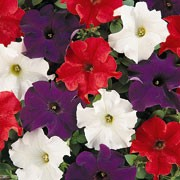 'Frenzy Britannia Mix' is an annual with mid green ovate foliage, and red, white and blue trumpet shaped flowers through summer. Petunia multiflora F1 'Frenzy Britannia mix' added by Shoot)