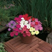 'Horizon Mix' is an annual with single trumpet-shaped, flowers in summer, coloured in shades of pinks, reds, purples, creams and yellows. 