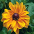 Rudbeckia hirta F1 'Tiger Eye Gold'