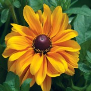 'Tiger Eye Gold' is a dwarf, half-hardy annual. In late summer and early autumn, on branched stems, it bears  single, sunflower-like golden-yellow blooms, with a dark brown centre. 