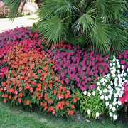 'Red' is a vigourous half-hardy annual. It has mid-green foliage, and a profusion of large bright red flowers in summer through to early autumn.
