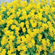 'Friolina Yellow' is a biennial/perennial grown for its pansy flowers in spring and summer. Trailing stems can reach up to 1m, and bear pale and golden yellow flowers.