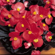 'Devil Dark Leaf Red' is a half-hardy annual with glossy dark green foliage, and bright red flowers with mustard yellow centres in summer. Begonia semperflorens F1 'Devil Dark Leaf Red' added by Shoot)