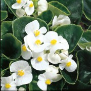 Devil Green Leaf White' is a half-hardy annual with glossy dark green foliage, and white flowers with bright yellow centres in summer. Begonia semperflorens F1 'Devil Green Leaf White' added by Shoot)