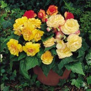 'On Top Sunset Shades' is a tuberous begonia with dark green foliage, and large double flowers in summer, in shades of red, orange and yellow with darker petal edges. Begonia tuberhybrida F1 'On Top Sunset Shades' added by Shoot)