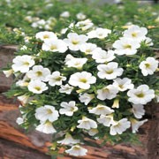 'Million Bells Trailing Ice' is a trailing annual with mid green foliage, and single, white, bell shaped flowers in summer. Calibrachoa x hybrida 'Million Bells Trailing Ice' added by Shoot)
