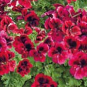 'Candy Flowers Dark Red' is an upright, shrubby perennial with lobed leaves and in summer large, dense clusters of flowers in maroon red with dark-purple markings. Pelargonium x grandiflorum 'Candy Flowers Dark Red' added by Shoot)