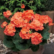 'Maverick Orange' is a bushy, tender perennial with rounded, zoned, dark green leaves and erect stems bearing large clusters of bright orange flowers in summer and autumn. Pelargonium x hortorum F1 'Maverick Orange' added by Shoot)
