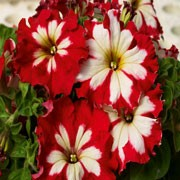 'Can Can' is an annual, which in summer bears single trumpet-shaped flowers in strawberry red with varying white centres.  Petunia grandifora 'Can Can' added by Shoot)