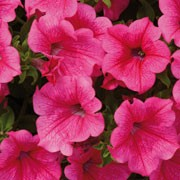 'Surfinia Crazy Pink' is a trailing annual with ovate mid-green leaves, and trumpet shaped hot pink flowers from early summer into autumn. Petunia x atkinsiana 'Surfinia Crazy Pink' added by Shoot)