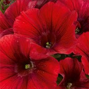 'Potunia Red Fox' (Potunia Series) is a round, compact annual with trumpet shaped flowers in summer that may be purple, red, pink, white or yellow. Petunia 'Potunia Red Fox' (Potunia Series) added by Shoot)