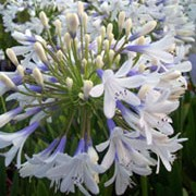 'Queen Mum' is an upright perennial with green strap-like leaves surrounding erect stems topped with extra large white and blue trumpet-shaped blooms in summer to early autumn. Agapanthus 'Queen Mum' added by Shoot)