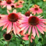 Echinacea 'Sundown'  (07/01/2012)  added by Shoot)