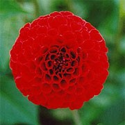 'Nescio' is a small-flowered, ball dahlia with an erect habit. Its divided foliage is dark-green. In summer and autumn it bears fully-double bright red flowers.  Dahlia 'Nescio' added by Shoot)