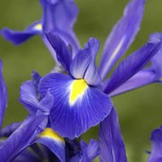 'Blue Magic' is a clump-forming, bulbous perennial with erect, channelled, strap-like, mid-green leaves and, from mid-spring until midsummer, deep violet-blue flowers with yellow-marked falls. Iris 'Blue Magic' added by Shoot)
