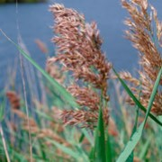 Phragmites australis added by Shoot)