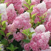 Vanille Fraise is a vigorous, upright to spreading, deciduous shrub with ovate, pointed, mid-green leaves and, in summer, large, conical panicles of white flowers that turn rose-pink and then deep red with age. Hydrangea paniculata Vanille Fraise added by Shoot)