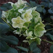 Helleborus 'White Beauty'  (11/01/2012)  added by Shoot)