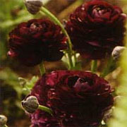 Ranunculus 'Purple Heart'