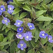 'Georgia Blue' is a vigorous, mat-forming, rhizomatous, evergreen perennial with prostrate, branching stems bearing ovate to lance-shaped, toothed, glossy, purple-flushed, mid-green leaves and, from early spring into summer, erect racemes of saucer-shaped, deep blue flowers with small white eyes. Veronica umbrosa 'Georgia Blue' added by Shoot)