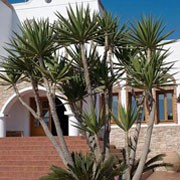 Yucca elephantipes  added by Shoot)