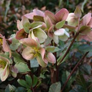 'Pirouette' is a clump-forming, semi-evergreen with leathery, lobed, dark green leaves and purple stems bearing saucer-shaped, pink flowers from late winter into spring. Helleborus 'Pirouette' added by Shoot)