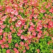 'Little Dazzler' is a spreading, evergreen perennial, sometimes grown as an annual, with narrow, heart-shaped, mid- to bright green leaves and racemes of salmon-pink flowers in summer and autumn. Diascia 'Little Dazzler' added by Shoot)