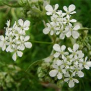 A. sylvestris  is an upright herbaceous perennial with finely divided mid-green foliage. From late spring to mid-summer, it bears dainty umbels of small white flowers. Anthriscus sylvestris added by Shoot)