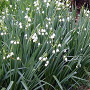 Leucojum aestivum added by Shoot)