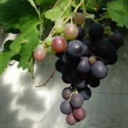 Vitis vinifera added by Shoot)