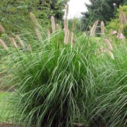 'Foxtrot' is clump-forming, perennial grass with arching, linear, flat, mid-green leaves turning golden-brown in autumn. Bristly, purple- to black-flushed, pale brown flower spikes in late summer and early autumn often develop a white tuft at the tip of the spike. Pennisetum alopecuroides 'Foxtrot' added by Shoot)