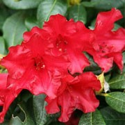 'Baden-Baden' is a compact, spreading, evergreen shrub with slightly twisted, elliptic, dark green leaves and loose clusters of funnel-shaped, cherry red flowers in late spring. Rhododendron 'Baden-Baden' added by Shoot)