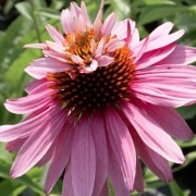 Echinacea purpurea 'Doubledecker' (13/08/2014)  added by Shoot)