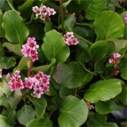 'Autumn Magic' forms a large clump of rounded deep-green leaves tinted red. In autumn, vivid pink flowers in erect clusters grow on supporting red stems. Bergenia 'Autumn Magic' added by Shoot)