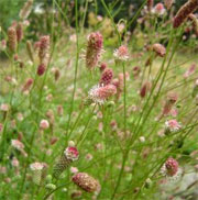 Sanguisorba officinalis 'Pink Tanna'