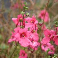 Diascia barberae 'Ruby Field'