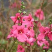 (21/07/2018) Diascia barberae 'Ruby Field'  added by Shoot)
