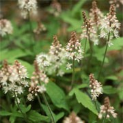 Tiarella 'Cygnet' (04/09/2010)  added by Shoot)
